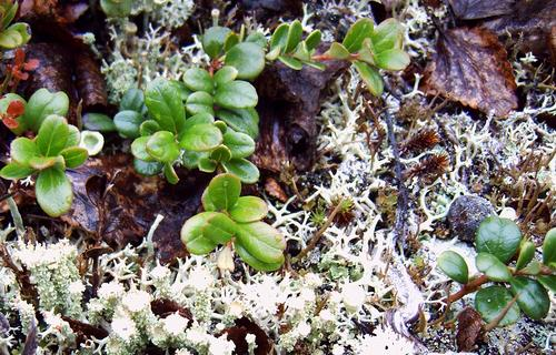 Arctic Forest Plants