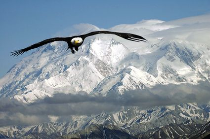 Bald Eagle in Alaska Mountains